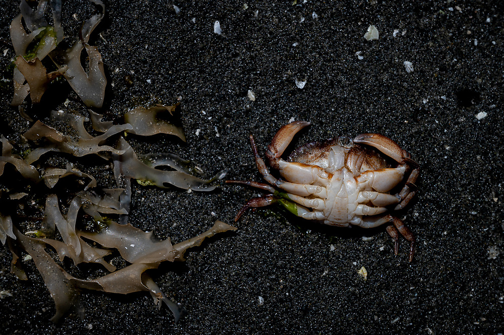 A crab that died presumably from extreme heat and extra low tides on the east coast of Vancouver Island, Canada.
