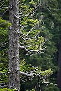 A Subalpine Fir (Abies lasiocarpa) shaped by the winds at Narada Falls in Mount Rainier National Park, Washington State, USA