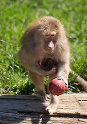 Maya, a seven-year-old hamadryas baboon, nurses her week-old infant in the baboon enclosure, even as she forages for food (hidden inside the red ball, thrown into the enclosure by zookeepers) at the Oakland Zoo, Tuesday, April 16, 2013 in Oakland, Calif. (D. Ross Cameron/Staff)