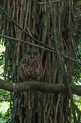 A Ruru (Morepork Owl) that followed me through the twilight forest, observing me, as I walk past it. The Morepork flies almost silent, it is extremely capable of curving around the branches of the forest underwood.
