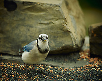 Blue Jay. Image taken with a Nikon D4 camera and 600 mm f/4 VR lens (ISO 360, 600 mm, f/4, 1/800 sec).