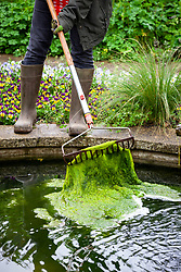 Removing pondweed from a pond using a rake and leaving on the side for tadpoles and other wildlife to escape