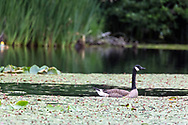 A Canada Goose ((Branta canadensis) parent acts as a lookout for nearby foraging geese (likely that years goslings) on McLean Pond at Campbell Valley Regional Park in Langley, British Columbia, Canada