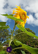 A morning glory climbs a sunflower in my front yard.
