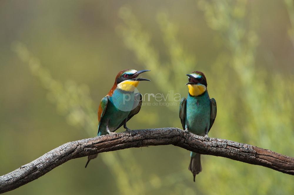 Fauna España. Abejaruco común (Merops apiaster) ©Country Sessions / PILAR REVILLA