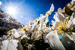 Clematis blooms in the morning light, 11th June 2015.