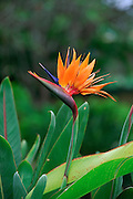 Bird of Paradise, Hawaii<br />