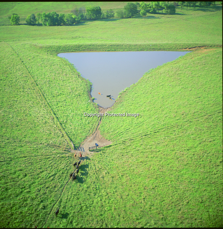 aerial Cattle cooling off in a Texas Watering hole
