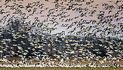 Thousands of snow geese landing at a farm field near Fowler Beach, Milford, Delaware.