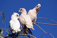 Cacatua goffini, Goffin Cockatoo