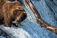 Bear 775, Lefty, catches a salmon from the lip of Brooks Falls in Katmai National Park, Alaska