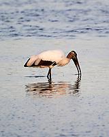 Wood Stork (Mycteria americana). Black Point Wildlife Drive. Merritt Island National Wildlife Refuge. Image taken with a Nikon D3s camera and 200-400 mm f/4 lens.