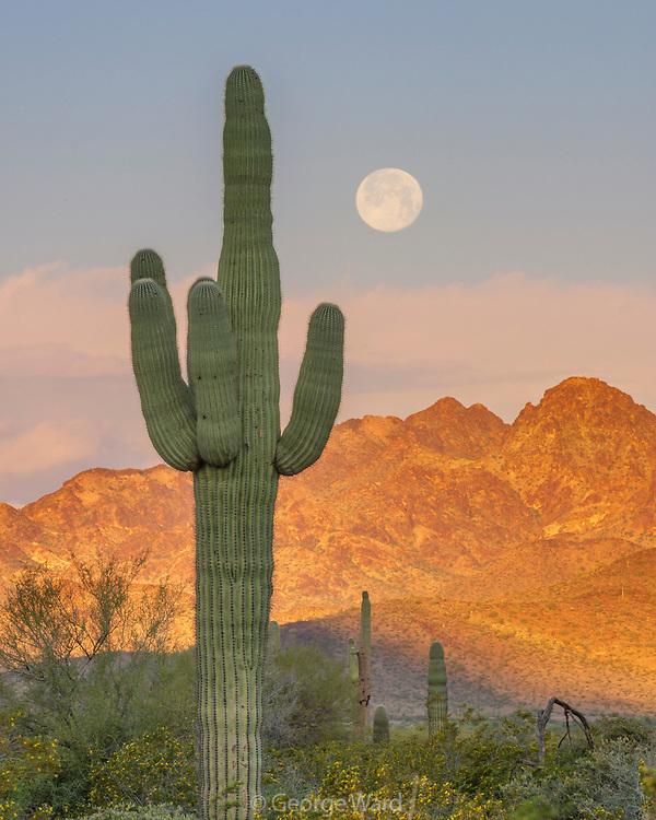 Saguaro Cactus and Full Moon, Kofa Wilderness, Kofa National Wildlife Refuge, Yuma County, Arizona