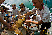 Volunteers at the Loggerhead Marine Life Center in Juno Beach, FL perpare to release a sub-adult Loggerhead Sea Turtle (Caretta caretta) after rehabilitation at the center, which focuses on rescuing sea turtles as well as educating the public on marine life conservation.