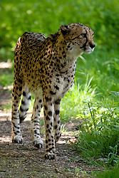 20.04.2011, Wien, AUT, Feature, im Bild Gepard im Tierpark von Schloss Schönbrunn, EXPA Pictures © 2011, PhotoCredit: EXPA/ Erwin Scheriau