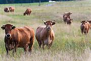 Rinder auf Weide im südöstlichen Odenwald, Naturpark Bergstraße-Odenwald, Baden-Württemberg, Deutschland | cattle in southern Odenwald, Baden-Wuerttemberg, Germany
