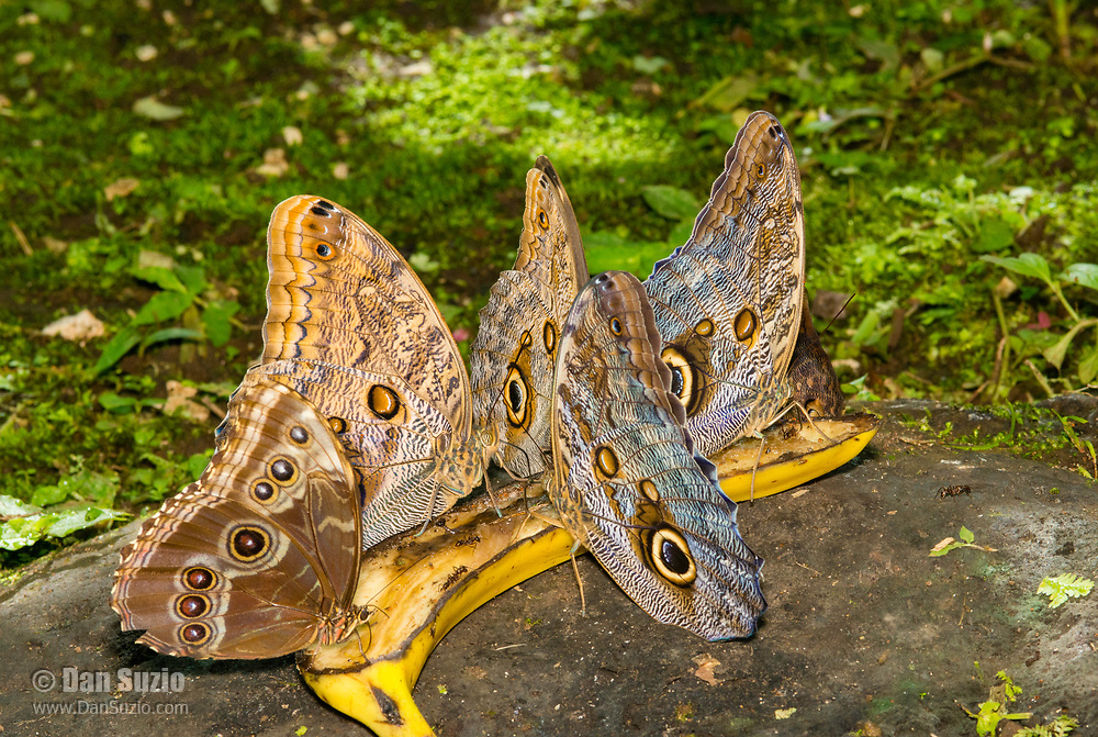 Four Owl Butterflies, Caligo sp., and one Blue Morpho butterfly, Morpho sp., feeding on a banana in the butterfly garden (mariposario) at Restaurante Selva Tropical, Guapiles, Costa Rica