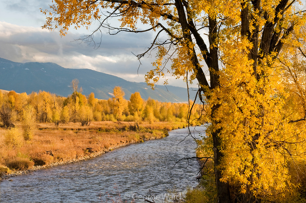 Narrowleaf Cottonwood and the Gros Ventre River, Grand Teton National Park, Wyoming