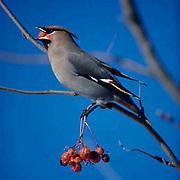 Bohemian Waxwing,lone bird sits on branch of Mountain Ash tree, feeding on berries. Wisconsin.