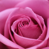 """""""Rose in Mauve""""<br /> <br /> Gorgeous and delicate! A light mauve hued rose!!<br /> <br /> Flowers and Wildflowers by Rachel Cohen"""