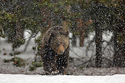 Grizzly Bear Walking in Snow