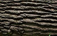 06.06.2016 Puszcza Bialowieska woj podlaskie N/z powalony przez wichure w lipcu 2014 roku 300-letni Dab Senatorski fot Michal Kosc / AGENCJA WSCHOD