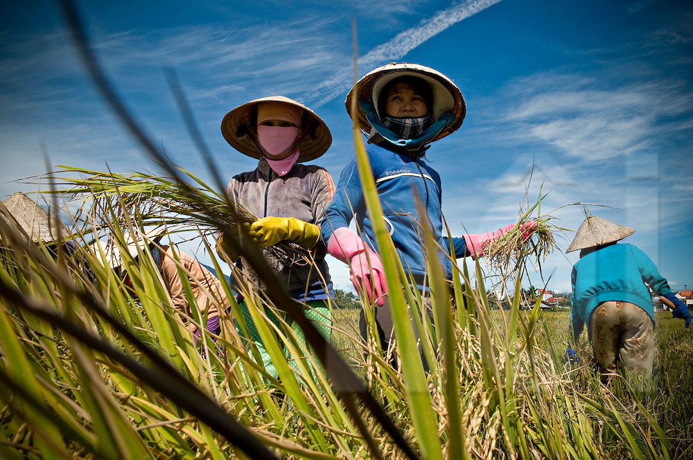 Portraiture of 3 Vietnamese women farming and harvesting rice in a field of Khanh Hoa province, Vietnam, Asia. They are wearing conical hats and plastic gloves