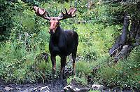 Moose near Second Connecticut Lake