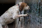 Spanish Hunting Dogs