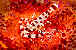 A pair of Coleman Shrimp, Periclimenes colemani, nestle among the venomous spines of their host, a Fire Urchin. Pulau Kalabahi, Savu Sea, Alor, Indonesia