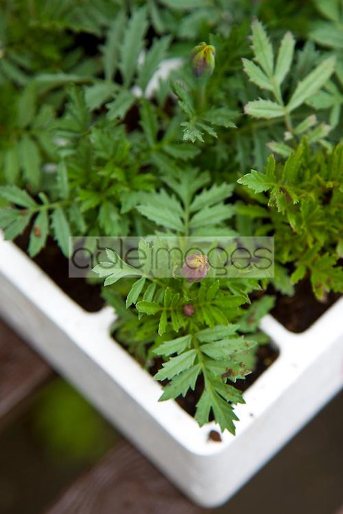 Daisy seedling on a tray