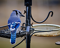 Blue Jay at a bird feeder. Image taken with a Fuji X-T3 camera and 200 mm f/2 lens and 1.4x teleconverter (ISO 320, 280 mm, f/4, 1/500 sec).