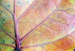 Close up of an autumn leaf,