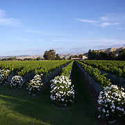 Brancott Estate, Winery, State Highway 1, Riverlands, Blenheim, (formerlly known as Montana Brancott Estate Winery), began in 1934 and is an original Marlborough vineyard. .Marlborough wine region is New Zealand's largest wine producer, the Marlborough wine region has earned a global reputation for viticultural excellence since the 1970s. It has an enviable international reputation for producing the best Sauvignon Blanc in the world. It also makes very good Chardonnay and Riesling and is fast developing a reputation for high quality Pinot Noir. Of the region's ten thousand hectares of grapes (almost half the national crop) one third are planted in Sauvignon Blanc. .Free draining soils and warm growing conditions mean the South Island region is perfectly suited to wine production. Producing a full range of wine varieties, Marlborough turns out arguably the best Sauvignon Blanc in the world. Most Marlborough vineyards are found around the main centre of Blenheim,  with dry mountains rising up behind, Marlborough, New Zealand, 11th February 2011. Photo Tim Clayton