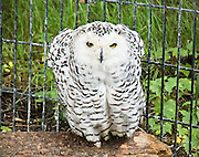 The Snowy Owl is a powerful arctic predator, active during the day from dawn to dusk. Visit the Alaska Zoo in Anchorage, Alaska, USA. Snowy Owls (also known as Arctic owl, Great White owl, or harfang des neiges in French) nest in the Arctic tundra of the northermost stretches of Alaska, Canada, and Eurasia. They winter south through Canada and northern Eurasia, with irruptions occurring further south in some years. The Snowy Owl is a large bird of prey with a rounded head, yellow eyes, black bill, and heavily feathered feet.. The adult male is virtually pure white, but females and young birds have some dark scalloping; the young are heavily barred, and dark spotting may even predominate. It was formerly regarded as the sole member of a genus (Nyctea scandiaca), but mtDNA cytochrome b sequence data (Olsen et al. 2002) shows that it is very closely related to the horned owls in the genus Bubo, so it is now called Bubo scandiacus. It is the official bird of Quebec. Snowy Owl calls are varied, but the alarm call is a barking, almost quacking krek-krek; the female also has a softer mewling pyee-pyee or prek-prek. The song is a deep repeated gawh.