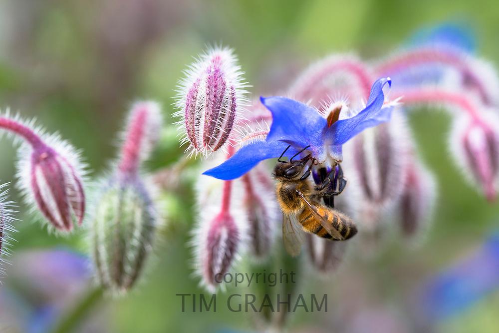 Honey bee, Apis, gathering nectar from Blue Borage, Borago officinalis, in organic garden in Oxfordshire UK