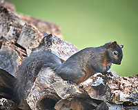 Black Squirrel. Image taken with a Nikon D5 camera and 600 mm f/4 VR telephoto lens (ISO 1000, 600 mm, f/4, 1/640 sec).