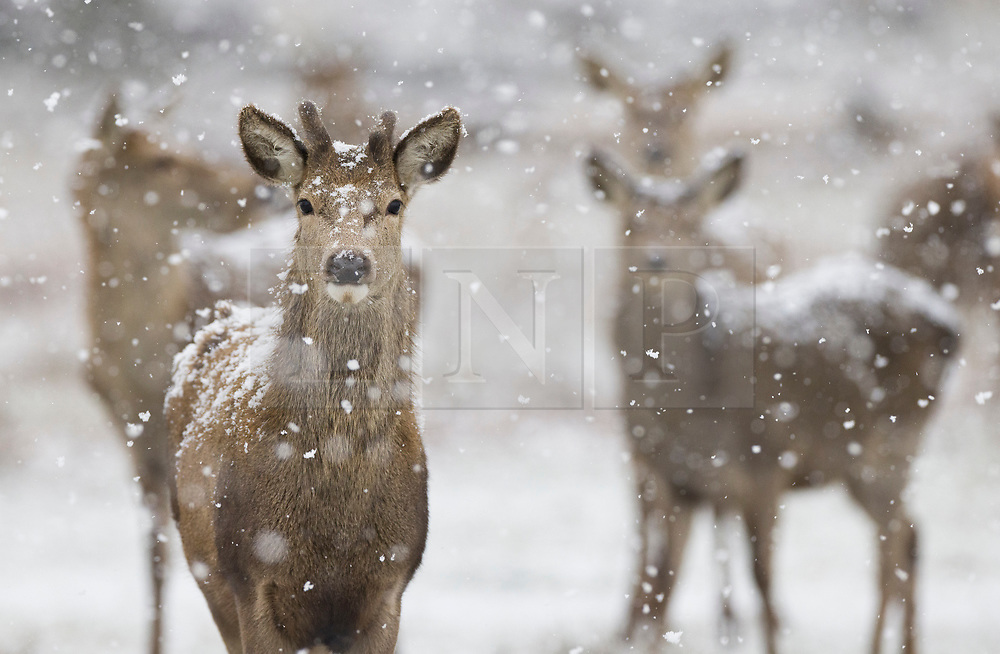 © Licensed to London News Pictures. 24/01/2021. London, UK. Deer experience the snowy conditions in Bushy Park, south west London. A band of snow is crossing the south east this morning as temperature remain just above freezing. Photo credit: Peter Macdiarmid/LNP