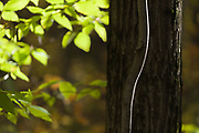 Birch tree (Betula species), October, afternoon light, Cheshire County, New Hampshire, USA