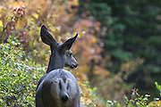 Closeup of a doe white-tailed deer in autumn foliage