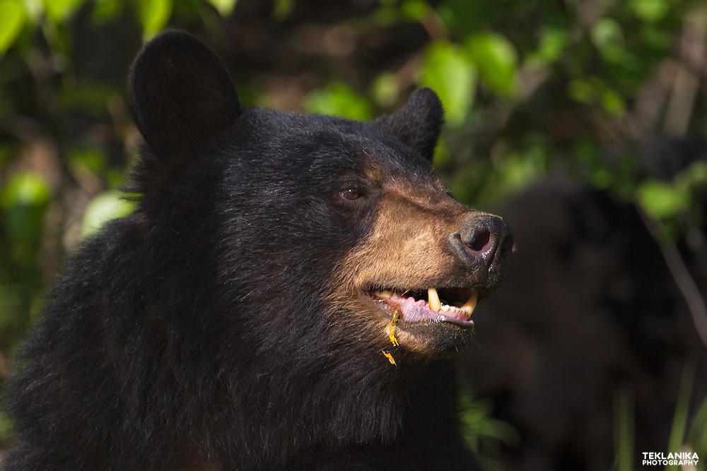 Portrait of a young Alaskan black bear.
