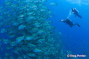 biologist Alex Jones (above) records fish count while ranger Shayne Pech (below) videotapes a spawning aggregation of dog snappers, Lutjanus jocu, at the Gladden Spit & Silk Cayes Marine Reserve, off Placencia,  Belize, Central America ( Caribbean Sea )