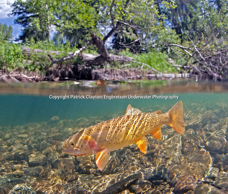 Yellowstone Cutthroat Trout<br />