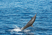 spinner dolphin, either eastern spinner, Stenella longirostris orientalis, or Central American spinner, Stenella, longirostris centroamericana, jumping, with remora or suckerfish on chin, offshore from southern Costa Rica, Central America ( Eastern Pacific Ocean )