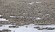 Oyster Beds lay exposed during an extremely low tide in the Hood Canal at Big Beef Creek on the  Kitsap Peninsula of Puget Sound, Washington, USA