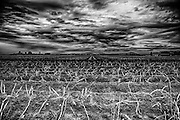 Skagit Valley, WA. /  Potato Field ready for harvesting.