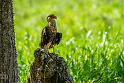 Northern crested caracara (Caracara cheriway) on a rock. These large birds of prey tend to be ground scavengers rather than aerial hunters. They are found in most of northern South America through Central America to Mexico. Photographed in Costa Rica