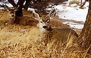 24 DECEMBER 2001, GRAND CANYON NATIONAL PARK, ARIZONA: Mule deer yearlings near the south rim of the Grand Canyon in Grand Canyon National Park, Dec. 24, 2001. .PHOTO BY JACK KURTZ