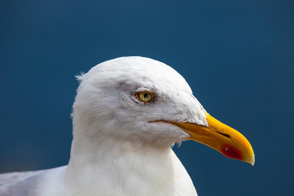 Herring Gull, Larus argentatus, Slea Head, Dingle Peninsula, Co. Kerry, Ireland