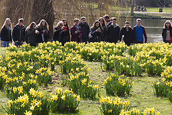 © Licensed to London News Pictures. 10/03/2015. London, UK. People photograph the daffodils and enjoy the sunny spring weather in St James's Park in London today. Photo credit : Vickie Flores/LNP